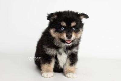 puppy202 week7 BowTiePomsky.com Bowtie Pomsky Puppy For Sale Husky Pomeranian Mini Dog Spokane WA Breeder Blue Eyes Pomskies Celebrity Puppy web2