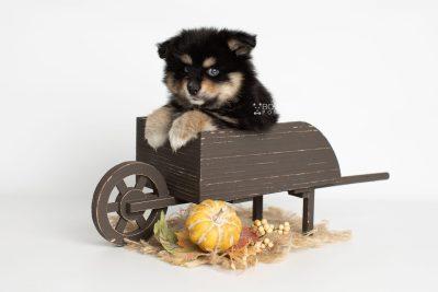 puppy202 week7 BowTiePomsky.com Bowtie Pomsky Puppy For Sale Husky Pomeranian Mini Dog Spokane WA Breeder Blue Eyes Pomskies Celebrity Puppy web8