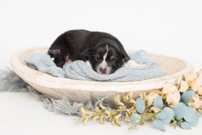 puppy203 week1 BowTiePomsky.com Bowtie Pomsky Puppy For Sale Husky Pomeranian Mini Dog Spokane WA Breeder Blue Eyes Pomskies Celebrity Puppy web1