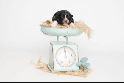 puppy203 week1 BowTiePomsky.com Bowtie Pomsky Puppy For Sale Husky Pomeranian Mini Dog Spokane WA Breeder Blue Eyes Pomskies Celebrity Puppy web6