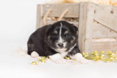 puppy203 week3 BowTiePomsky.com Bowtie Pomsky Puppy For Sale Husky Pomeranian Mini Dog Spokane WA Breeder Blue Eyes Pomskies Celebrity Puppy web1