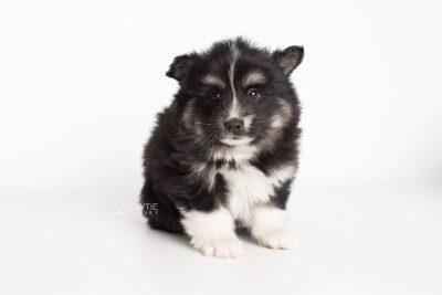puppy203 week5 BowTiePomsky.com Bowtie Pomsky Puppy For Sale Husky Pomeranian Mini Dog Spokane WA Breeder Blue Eyes Pomskies Celebrity Puppy web7