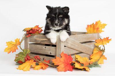 puppy203 week7 BowTiePomsky.com Bowtie Pomsky Puppy For Sale Husky Pomeranian Mini Dog Spokane WA Breeder Blue Eyes Pomskies Celebrity Puppy web3
