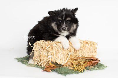 puppy203 week7 BowTiePomsky.com Bowtie Pomsky Puppy For Sale Husky Pomeranian Mini Dog Spokane WA Breeder Blue Eyes Pomskies Celebrity Puppy web4