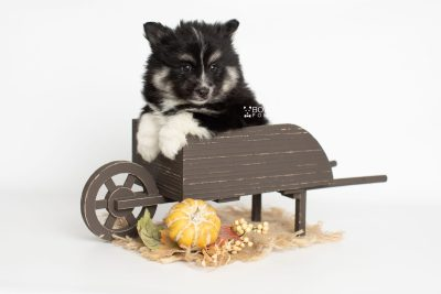 puppy203 week7 BowTiePomsky.com Bowtie Pomsky Puppy For Sale Husky Pomeranian Mini Dog Spokane WA Breeder Blue Eyes Pomskies Celebrity Puppy web6