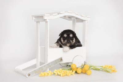 puppy205 week3 BowTiePomsky.com Bowtie Pomsky Puppy For Sale Husky Pomeranian Mini Dog Spokane WA Breeder Blue Eyes Pomskies Celebrity Puppy web2