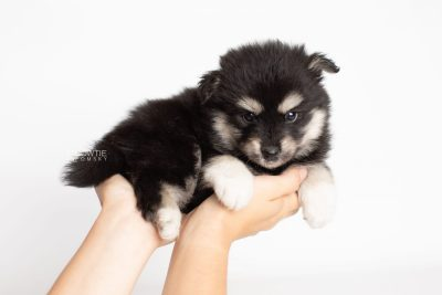 puppy205 week5 BowTiePomsky.com Bowtie Pomsky Puppy For Sale Husky Pomeranian Mini Dog Spokane WA Breeder Blue Eyes Pomskies Celebrity Puppy web7