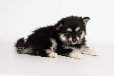 puppy205 week7 BowTiePomsky.com Bowtie Pomsky Puppy For Sale Husky Pomeranian Mini Dog Spokane WA Breeder Blue Eyes Pomskies Celebrity Puppy web1