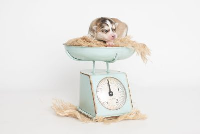 puppy206 week1 BowTiePomsky.com Bowtie Pomsky Puppy For Sale Husky Pomeranian Mini Dog Spokane WA Breeder Blue Eyes Pomskies Celebrity Puppy web4