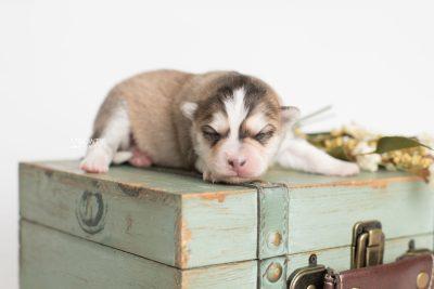 puppy206 week1 BowTiePomsky.com Bowtie Pomsky Puppy For Sale Husky Pomeranian Mini Dog Spokane WA Breeder Blue Eyes Pomskies Celebrity Puppy web6