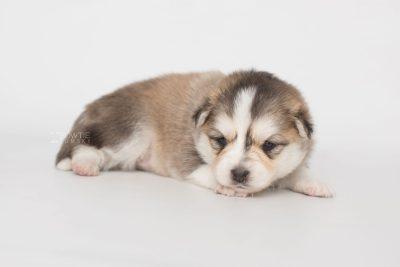 puppy206 week3 BowTiePomsky.com Bowtie Pomsky Puppy For Sale Husky Pomeranian Mini Dog Spokane WA Breeder Blue Eyes Pomskies Celebrity Puppy web6