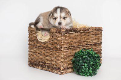 puppy206 week3 BowTiePomsky.com Bowtie Pomsky Puppy For Sale Husky Pomeranian Mini Dog Spokane WA Breeder Blue Eyes Pomskies Celebrity Puppy web7