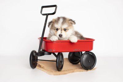 puppy206 week5 BowTiePomsky.com Bowtie Pomsky Puppy For Sale Husky Pomeranian Mini Dog Spokane WA Breeder Blue Eyes Pomskies Celebrity Puppy web2