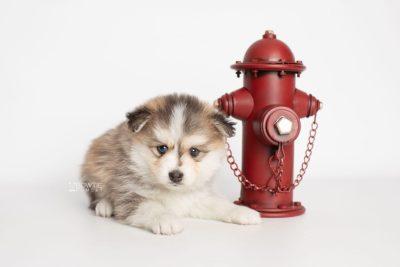 puppy206 week5 BowTiePomsky.com Bowtie Pomsky Puppy For Sale Husky Pomeranian Mini Dog Spokane WA Breeder Blue Eyes Pomskies Celebrity Puppy web3