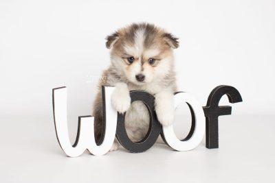 puppy206 week5 BowTiePomsky.com Bowtie Pomsky Puppy For Sale Husky Pomeranian Mini Dog Spokane WA Breeder Blue Eyes Pomskies Celebrity Puppy web5