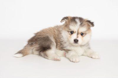 puppy206 week5 BowTiePomsky.com Bowtie Pomsky Puppy For Sale Husky Pomeranian Mini Dog Spokane WA Breeder Blue Eyes Pomskies Celebrity Puppy web6
