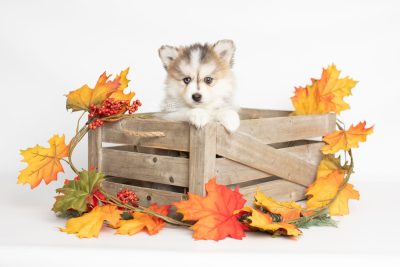 puppy206 week7 BowTiePomsky.com Bowtie Pomsky Puppy For Sale Husky Pomeranian Mini Dog Spokane WA Breeder Blue Eyes Pomskies Celebrity Puppy web3
