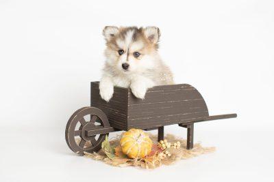 puppy206 week7 BowTiePomsky.com Bowtie Pomsky Puppy For Sale Husky Pomeranian Mini Dog Spokane WA Breeder Blue Eyes Pomskies Celebrity Puppy web6