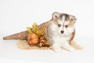 puppy206 week7 BowTiePomsky.com Bowtie Pomsky Puppy For Sale Husky Pomeranian Mini Dog Spokane WA Breeder Blue Eyes Pomskies Celebrity Puppy web7