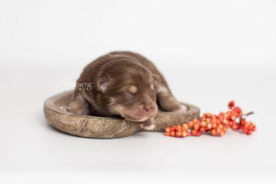 puppy210 week1 BowTiePomsky.com Bowtie Pomsky Puppy For Sale Husky Pomeranian Mini Dog Spokane WA Breeder Blue Eyes Pomskies Celebrity Puppy web4