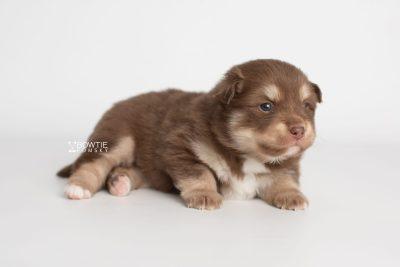 puppy210 week3 BowTiePomsky.com Bowtie Pomsky Puppy For Sale Husky Pomeranian Mini Dog Spokane WA Breeder Blue Eyes Pomskies Celebrity Puppy web11