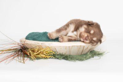 puppy210 week3 BowTiePomsky.com Bowtie Pomsky Puppy For Sale Husky Pomeranian Mini Dog Spokane WA Breeder Blue Eyes Pomskies Celebrity Puppy web6