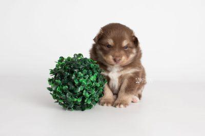 puppy210 week3 BowTiePomsky.com Bowtie Pomsky Puppy For Sale Husky Pomeranian Mini Dog Spokane WA Breeder Blue Eyes Pomskies Celebrity Puppy web8