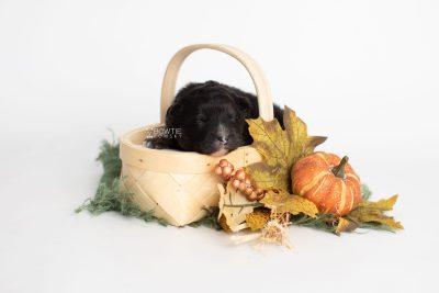 puppy213 week1 BowTiePomsky.com Bowtie Pomsky Puppy For Sale Husky Pomeranian Mini Dog Spokane WA Breeder Blue Eyes Pomskies Celebrity Puppy web2