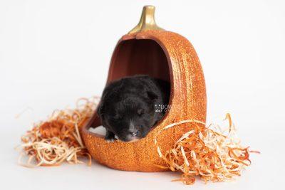 puppy213 week1 BowTiePomsky.com Bowtie Pomsky Puppy For Sale Husky Pomeranian Mini Dog Spokane WA Breeder Blue Eyes Pomskies Celebrity Puppy web5