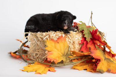 puppy213 week1 BowTiePomsky.com Bowtie Pomsky Puppy For Sale Husky Pomeranian Mini Dog Spokane WA Breeder Blue Eyes Pomskies Celebrity Puppy web7