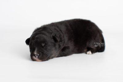 puppy213 week1 BowTiePomsky.com Bowtie Pomsky Puppy For Sale Husky Pomeranian Mini Dog Spokane WA Breeder Blue Eyes Pomskies Celebrity Puppy web8