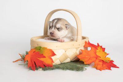 puppy219 week1 BowTiePomsky.com Bowtie Pomsky Puppy For Sale Husky Pomeranian Mini Dog Spokane WA Breeder Blue Eyes Pomskies Celebrity Puppy web3