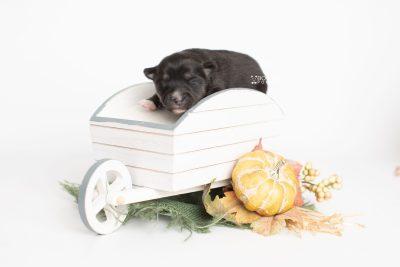 puppy222 week1 BowTiePomsky.com Bowtie Pomsky Puppy For Sale Husky Pomeranian Mini Dog Spokane WA Breeder Blue Eyes Pomskies Celebrity Puppy web3