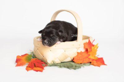 puppy222 week1 BowTiePomsky.com Bowtie Pomsky Puppy For Sale Husky Pomeranian Mini Dog Spokane WA Breeder Blue Eyes Pomskies Celebrity Puppy web4