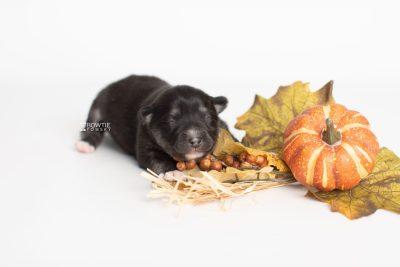puppy222 week1 BowTiePomsky.com Bowtie Pomsky Puppy For Sale Husky Pomeranian Mini Dog Spokane WA Breeder Blue Eyes Pomskies Celebrity Puppy web6