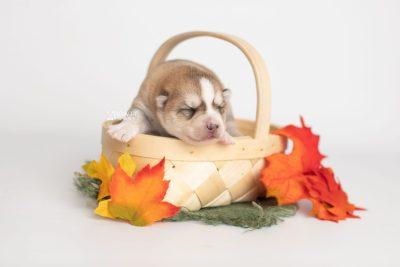 puppy224 week1 BowTiePomsky.com Bowtie Pomsky Puppy For Sale Husky Pomeranian Mini Dog Spokane WA Breeder Blue Eyes Pomskies Celebrity Puppy web2