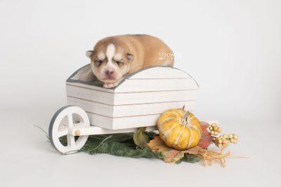 puppy224 week1 BowTiePomsky.com Bowtie Pomsky Puppy For Sale Husky Pomeranian Mini Dog Spokane WA Breeder Blue Eyes Pomskies Celebrity Puppy web3