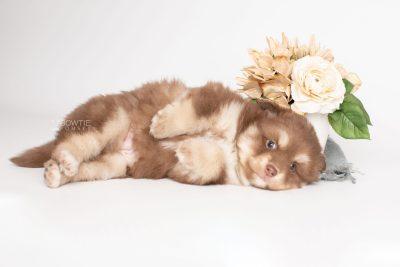 puppy210 week5 BowTiePomsky.com Bowtie Pomsky Puppy For Sale Husky Pomeranian Mini Dog Spokane WA Breeder Blue Eyes Pomskies Celebrity Puppy web4