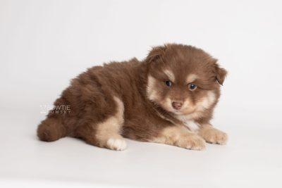 puppy210 week5 BowTiePomsky.com Bowtie Pomsky Puppy For Sale Husky Pomeranian Mini Dog Spokane WA Breeder Blue Eyes Pomskies Celebrity Puppy web6