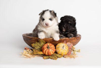 puppy212-213 week3 BowTiePomsky.com Bowtie Pomsky Puppy For Sale Husky Pomeranian Mini Dog Spokane WA Breeder Blue Eyes Pomskies Celebrity Puppy web1