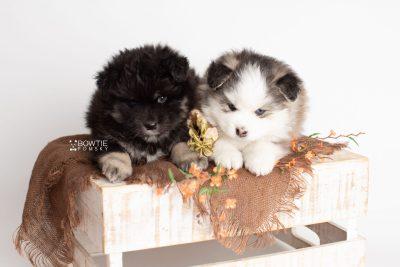 puppy212-213 week5 BowTiePomsky.com Bowtie Pomsky Puppy For Sale Husky Pomeranian Mini Dog Spokane WA Breeder Blue Eyes Pomskies Celebrity Puppy web1