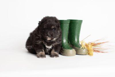 puppy213 week3 BowTiePomsky.com Bowtie Pomsky Puppy For Sale Husky Pomeranian Mini Dog Spokane WA Breeder Blue Eyes Pomskies Celebrity Puppy web3