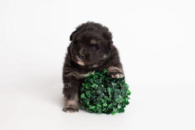 puppy213 week3 BowTiePomsky.com Bowtie Pomsky Puppy For Sale Husky Pomeranian Mini Dog Spokane WA Breeder Blue Eyes Pomskies Celebrity Puppy web4