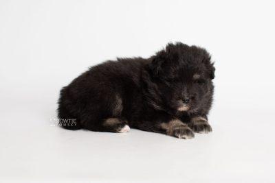 puppy213 week3 BowTiePomsky.com Bowtie Pomsky Puppy For Sale Husky Pomeranian Mini Dog Spokane WA Breeder Blue Eyes Pomskies Celebrity Puppy web7