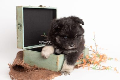 puppy213 week5 BowTiePomsky.com Bowtie Pomsky Puppy For Sale Husky Pomeranian Mini Dog Spokane WA Breeder Blue Eyes Pomskies Celebrity Puppy web3