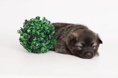 puppy214 week3 BowTiePomsky.com Bowtie Pomsky Puppy For Sale Husky Pomeranian Mini Dog Spokane WA Breeder Blue Eyes Pomskies Celebrity Puppy web5