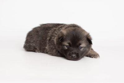 puppy214 week3 BowTiePomsky.com Bowtie Pomsky Puppy For Sale Husky Pomeranian Mini Dog Spokane WA Breeder Blue Eyes Pomskies Celebrity Puppy web6