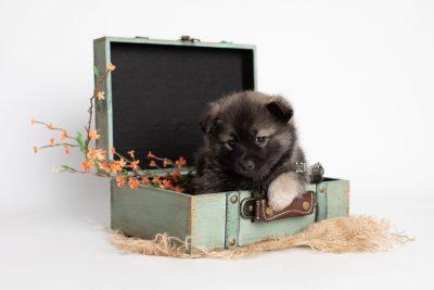 puppy214 week5 BowTiePomsky.com Bowtie Pomsky Puppy For Sale Husky Pomeranian Mini Dog Spokane WA Breeder Blue Eyes Pomskies Celebrity Puppy web1