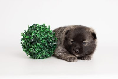 puppy215 week3 BowTiePomsky.com Bowtie Pomsky Puppy For Sale Husky Pomeranian Mini Dog Spokane WA Breeder Blue Eyes Pomskies Celebrity Puppy web5