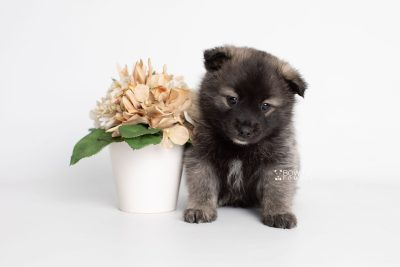 puppy215 week5 BowTiePomsky.com Bowtie Pomsky Puppy For Sale Husky Pomeranian Mini Dog Spokane WA Breeder Blue Eyes Pomskies Celebrity Puppy web6